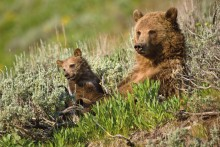 Mother's Watch - Grizzly Bears