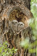 Heart of the Cottonwood - Great Horned Owlets