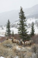 Wind River Bighorns