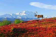 Under the Alaska Range - Caribou