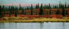 Indian Summer - Tundra Swans