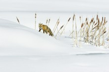 Winter Cattails - Red Fox
