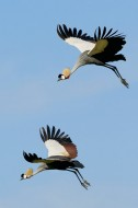 The Royals of Serengeti - Crowned Cranes