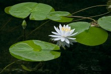 Blackwater Lily