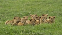 The Pride of Ngorongoro
