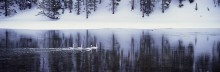 Winter on the Yellowstone - Trumpeter Swans