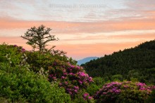 Blue Ridge Rhododendrons   Open Edition Art