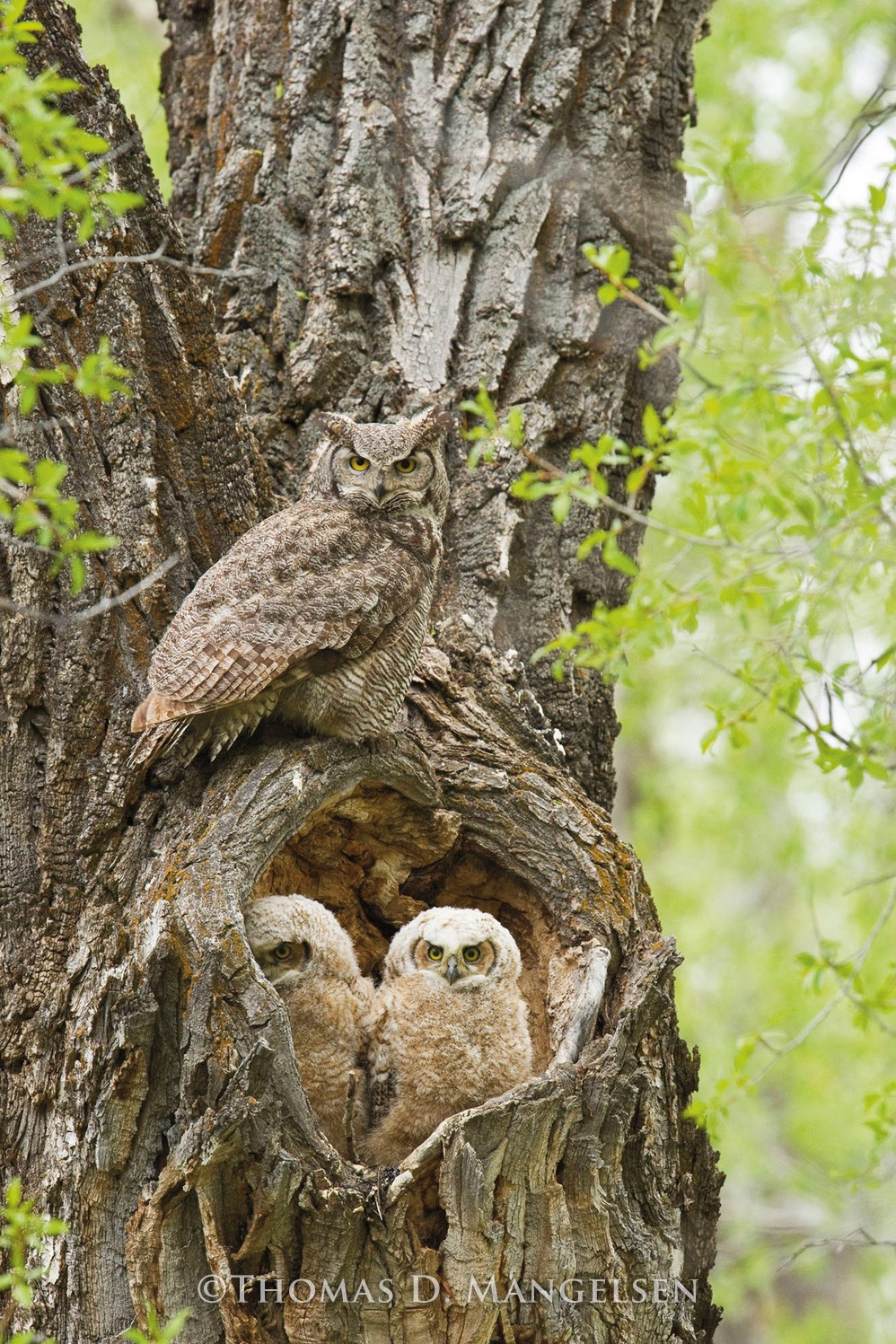 Cottonwood Hollow - Great Horned Owls